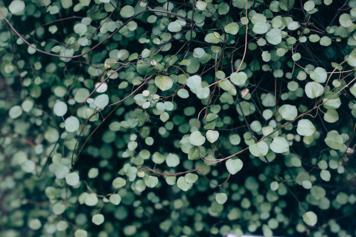 De Thuja occidentalis Smaragd: de ideale haagplant